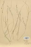 https://bibliotheque-virtuelle.bu.uca.fr/files/fichiers_bcu/Cyperaceae_Carex_remota_CLF120186.jpg