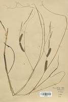 https://bibliotheque-virtuelle.bu.uca.fr/files/fichiers_bcu/Cyperaceae_Carex_rostrata_CLF120275.jpg