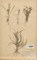 https://bibliotheque-virtuelle.bu.uca.fr/files/fichiers_bcu/Cyperaceae_Carex_serotina_CLF120248.jpg