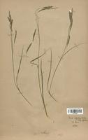https://bibliotheque-virtuelle.bu.uca.fr/files/fichiers_bcu/Cyperaceae_Carex_sylvatica_CLF120265.jpg