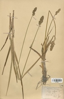 https://bibliotheque-virtuelle.bu.uca.fr/files/fichiers_bcu/Cyperaceae_Carex_vulpina_CLF120200.jpg