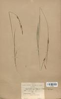 https://bibliotheque-virtuelle.bu.uca.fr/files/fichiers_bcu/Cyperaceae_Carex_x-fulva_CLF120235.jpg