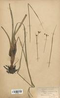 https://bibliotheque-virtuelle.bu.uca.fr/files/fichiers_bcu/Cyperaceae_Cladium_mariscus_CLF120135.jpg