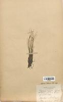 https://bibliotheque-virtuelle.bu.uca.fr/files/fichiers_bcu/Cyperaceae_Cobresia_bellardii_CLF120149.jpg