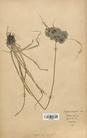 https://bibliotheque-virtuelle.bu.uca.fr/files/fichiers_bcu/Cyperaceae_Cyperus_eragrostis_CLF120136.jpg