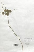 https://bibliotheque-virtuelle.bu.uca.fr/files/fichiers_bcu/Cyperaceae_Cyperus_eragrostis_CLF120137.jpg