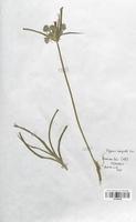 https://bibliotheque-virtuelle.bu.uca.fr/files/fichiers_bcu/Cyperaceae_Cyperus_eragrostis_CLF120138.jpg