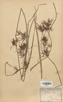 https://bibliotheque-virtuelle.bu.uca.fr/files/fichiers_bcu/Cyperaceae_Cyperus_longus_CLF120148.jpg