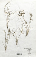 https://bibliotheque-virtuelle.bu.uca.fr/files/fichiers_bcu/Cyperaceae_Cyperus_michelianus_CLF120139.jpg