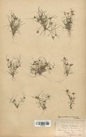 https://bibliotheque-virtuelle.bu.uca.fr/files/fichiers_bcu/Cyperaceae_Cyperus_michelianus_CLF120140.jpg