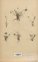 https://bibliotheque-virtuelle.bu.uca.fr/files/fichiers_bcu/Cyperaceae_Cyperus_flavescens_CLF120142.jpg