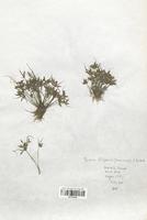 https://bibliotheque-virtuelle.bu.uca.fr/files/fichiers_bcu/Cyperaceae_Cyperus_flavescens_CLF120143.jpg