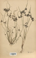 https://bibliotheque-virtuelle.bu.uca.fr/files/fichiers_bcu/Cyperaceae_Cyperus_fuscus_CLF120144.jpg
