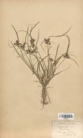 https://bibliotheque-virtuelle.bu.uca.fr/files/fichiers_bcu/Cyperaceae_Cyperus_fuscus_CLF120145.jpg