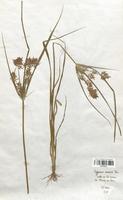 https://bibliotheque-virtuelle.bu.uca.fr/files/fichiers_bcu/Cyperaceae_Cyperus_aureus_CLF120147.jpg