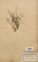 https://bibliotheque-virtuelle.bu.uca.fr/files/fichiers_bcu/Cyperaceae_Ephedra_destachya_CLF120122.jpg