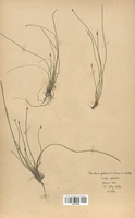 https://bibliotheque-virtuelle.bu.uca.fr/files/fichiers_bcu/Cyperaceae_Eleocharis_palustris_CLF120168.jpg