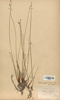 https://bibliotheque-virtuelle.bu.uca.fr/files/fichiers_bcu/Cyperaceae_Eleocharis_palustris_CLF120169.jpg