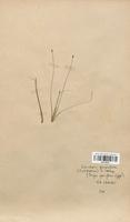 https://bibliotheque-virtuelle.bu.uca.fr/files/fichiers_bcu/Cyperaceae_Eleocharis_quinqueflora_CLF120157.jpg