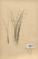 https://bibliotheque-virtuelle.bu.uca.fr/files/fichiers_bcu/Cyperaceae_Eleocharis_multicaulis_CLF120163.jpg