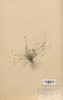 https://bibliotheque-virtuelle.bu.uca.fr/files/fichiers_bcu/Cyperaceae_Isolepis_setacea_CLF120152.jpg