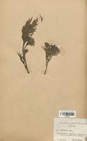 https://bibliotheque-virtuelle.bu.uca.fr/files/fichiers_bcu/Cyperaceae_Juniperus_sabina_CLF120121.jpg