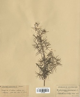 https://bibliotheque-virtuelle.bu.uca.fr/files/fichiers_bcu/Cyperaceae_Juniiperus_communis_CLF120123.jpg