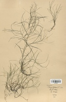 https://bibliotheque-virtuelle.bu.uca.fr/files/fichiers_bcu/Cyperaceae_Scirpus_fluitans_CLF120155.jpg
