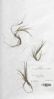 https://bibliotheque-virtuelle.bu.uca.fr/files/fichiers_bcu/Cyperaceae_Scirpus_fluitans_CLF120156.jpg