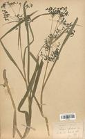 https://bibliotheque-virtuelle.bu.uca.fr/files/fichiers_bcu/Cyperaceae_Scirpus_sylvaticus_CLF120174.jpg