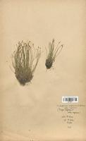 https://bibliotheque-virtuelle.bu.uca.fr/files/fichiers_bcu/Cyperaceae_Trichophorum_cespitosum_CLF120171.jpg