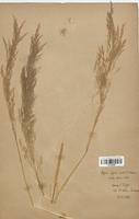 https://bibliotheque-virtuelle.bu.uca.fr/files/fichiers_bcu/Poaceae_Apera_spica_venti_CLF120288.jpg