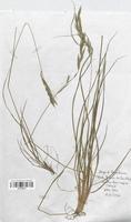 https://bibliotheque-virtuelle.bu.uca.fr/files/fichiers_bcu/Poaceae_Brachypodium_pinnatum_CLF120445.jpg