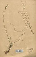 https://bibliotheque-virtuelle.bu.uca.fr/files/fichiers_bcu/Poaceae_Bromus_erectus_CLF120325.jpg
