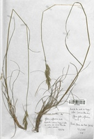 https://bibliotheque-virtuelle.bu.uca.fr/files/fichiers_bcu/Poaceae_Bromus_erectus_CLF120326.jpg