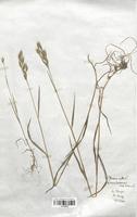 https://bibliotheque-virtuelle.bu.uca.fr/files/fichiers_bcu/Poaceae_Bromus_hordeaceus_CLF120329.jpg