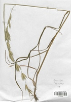 https://bibliotheque-virtuelle.bu.uca.fr/files/fichiers_bcu/Poaceae_Bromus_hordeaceus_microstachys_CLF120438.jpg