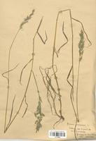 https://bibliotheque-virtuelle.bu.uca.fr/files/fichiers_bcu/Poaceae_Bromus_racemosus_CLF120332.jpg