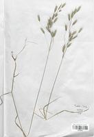 https://bibliotheque-virtuelle.bu.uca.fr/files/fichiers_bcu/Poaceae_Bromus_secalinus_CLF120437.jpg