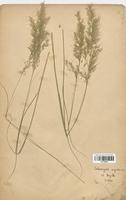 https://bibliotheque-virtuelle.bu.uca.fr/files/fichiers_bcu/Poaceae_Calamagrostis_argentea_CLF120289.jpg