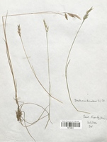 https://bibliotheque-virtuelle.bu.uca.fr/files/fichiers_bcu/Poaceae_Danthonia_decumbens_CLF120317.jpg