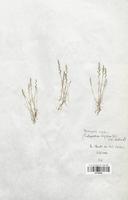 https://bibliotheque-virtuelle.bu.uca.fr/files/fichiers_bcu/Poaceae_Desmazeria_rigida_CLF120346.jpg
