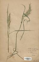 https://bibliotheque-virtuelle.bu.uca.fr/files/fichiers_bcu/Poaceae_Echinochloa_crus_galli_CLF120296.jpg