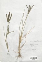 https://bibliotheque-virtuelle.bu.uca.fr/files/fichiers_bcu/Poaceae_Eleusine_tristachya_CLF120285.jpg
