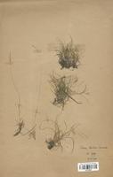 https://bibliotheque-virtuelle.bu.uca.fr/files/fichiers_bcu/Poaceae_Festuca_christiani-bernardii_CLF120376.jpg