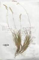 https://bibliotheque-virtuelle.bu.uca.fr/files/fichiers_bcu/Poaceae_Festuca_gautieri_CLF120352.jpg