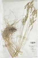 https://bibliotheque-virtuelle.bu.uca.fr/files/fichiers_bcu/Poaceae_Festuca_longifolia_CLF120374.jpg