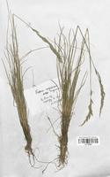 https://bibliotheque-virtuelle.bu.uca.fr/files/fichiers_bcu/Poaceae_Festuca_nigrescens_microphylla_CLF120355.jpg