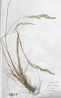 https://bibliotheque-virtuelle.bu.uca.fr/files/fichiers_bcu/Poaceae_Festuca_rubra_CLF120410.jpg