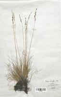 https://bibliotheque-virtuelle.bu.uca.fr/files/fichiers_bcu/Poaceae_Festuca_tenuifolia_CLF120375.jpg